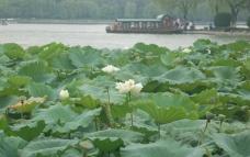 大明湖的白荷花