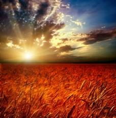 日落下的秋收小麦