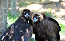秃鹰 秃鹫