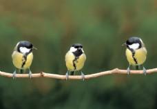 树枝上的可爱小鸟图片