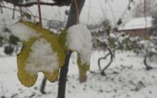树叶上的冰雪
