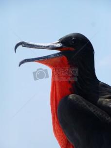 鸟,喙,护卫舰,鸟,护卫舰,加拉帕戈斯,海鸟