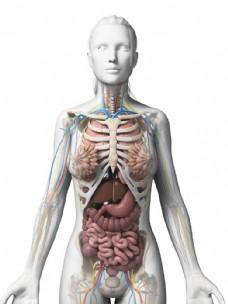 女性内脏器官图片