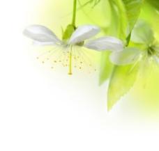 柔美的白色花朵图片