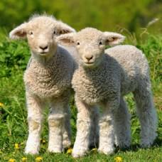 草地上的两个羊羔图片