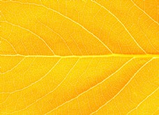 叶子纹理背影图片
