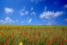 绿色原野上的红色花朵自然风景图片