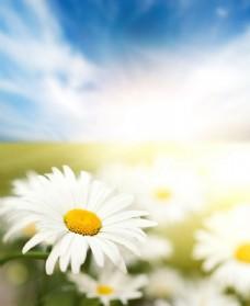 白色雏菊花特写图片