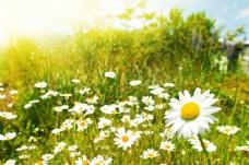 太阳光下的雏菊花图片