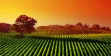 绿色的庄稼地高清风景图片图片