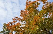 观赏红叶 五角枫
