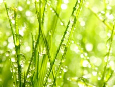 春天绿叶露珠图片