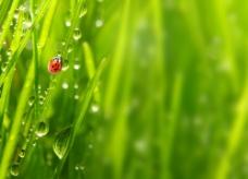 瓢虫绿叶露珠图片