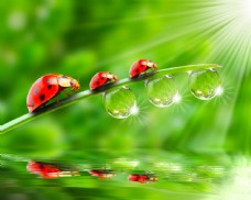 七星瓢虫与露珠水滴图片